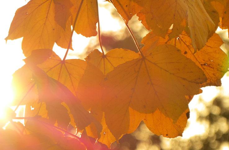 Herbstblätter im Sonnenlicht, Goldene Stunde