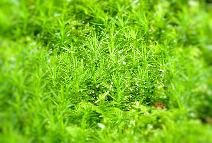 Sattgrün leuchtendes Moos im Wald