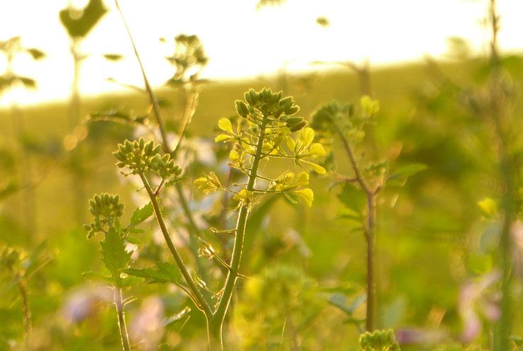 Herbstwiese in der Goldenen Stunde