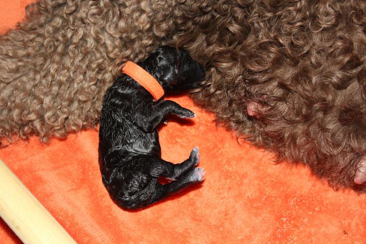 Miss Orange,née à 00h46,noire,290gr