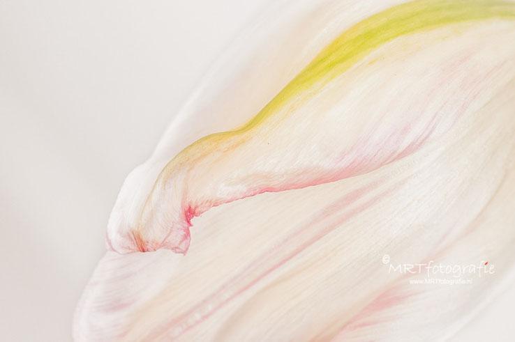 detail tulp