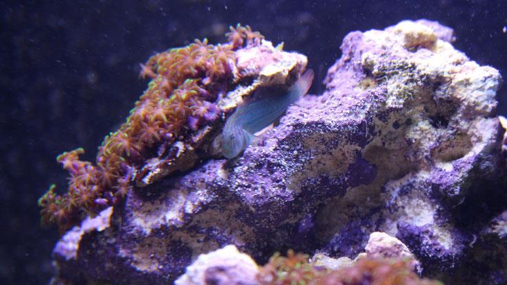 Einer der beiden Korallenwächter