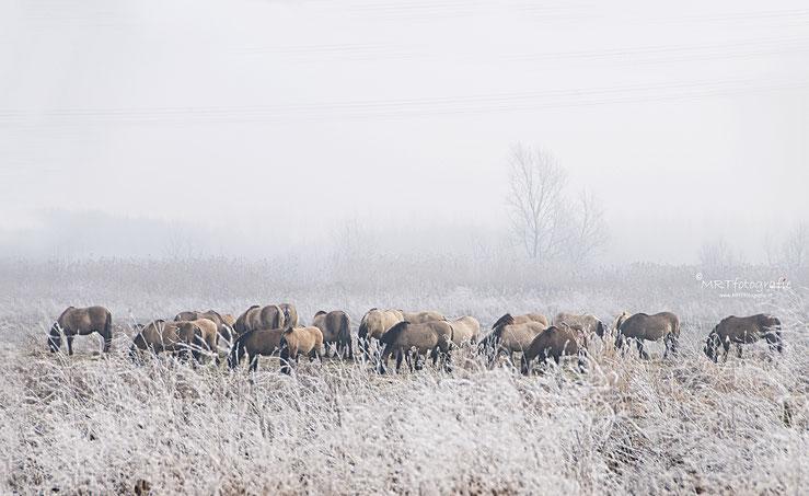Konikpaarden in de mist,  Oostvaarders plassen