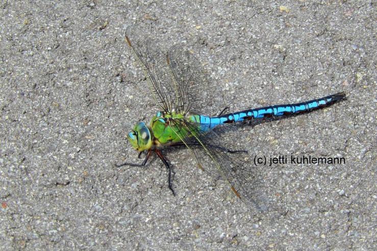Große Königslibelle, Insekt, blau grün , Hubschrauber, libelle, moor