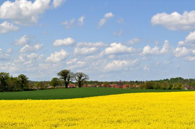 Raps gelb hügel landschaft