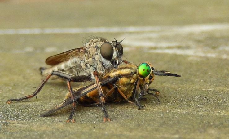 Fliegen, Paarung, Monsteraugen, Augen groß