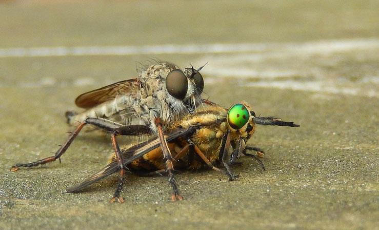 Paarung ,Fliegen , Sex