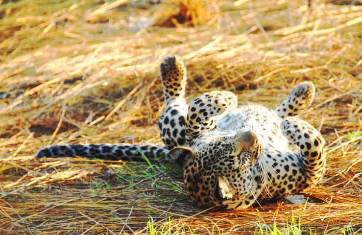 sabi-sand-jung-leopard-am-wohlfuehlen