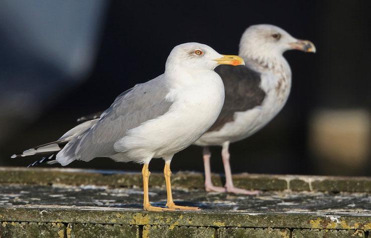 adulter Vogel (wahrscheinlich Hybrid) der einer Mittelmeermöwe recht ähnlich ist, 28.10.2015