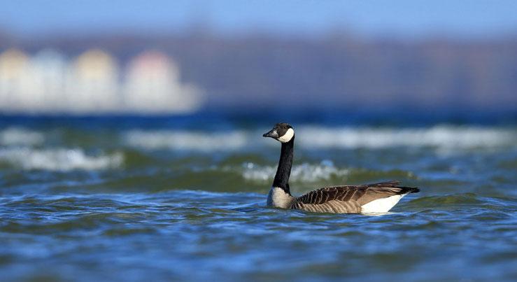 Unschwer zu erkennen, das Foto kann nicht aus dem Oderbruch stammen - es wurde am 05.04.2015 an der Ostsee bei Wohlenberg gemacht.