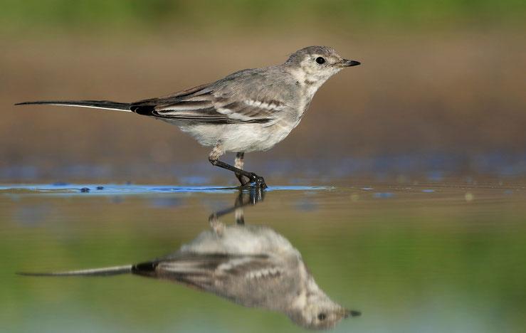 11.07.2016, diesjähriger Vogel (Jugendkleid)