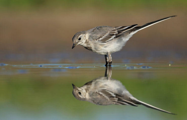 11.07.2015, diesjähriger Vogel im Jugendkleid