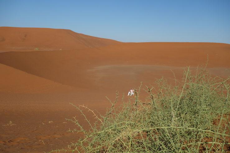 Ruth, einsam in den Dünen, bei 40+ Grad, 8.00 Uhr am Morgen...