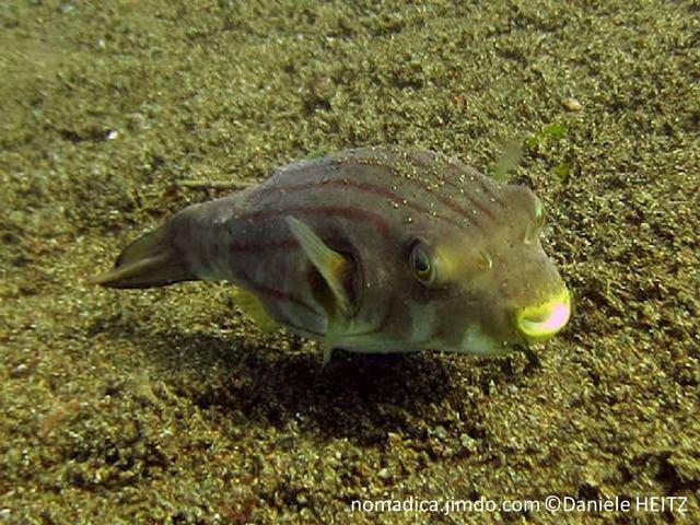 poisson, allongé, trapu, beige clair, lignes horizontales brunes, yeux jaunes