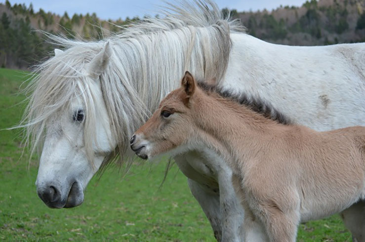 Pferde-Zucht