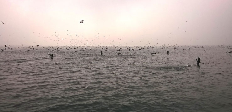 Bild: Ein Schwarm Kormorane fliegt im Morgennebel über der Ostsee auf. (Foto: Karena Hoffmann-Wülfing)