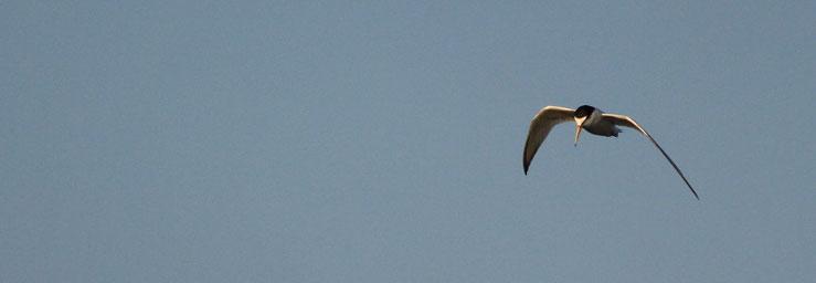Zwergseeschwalbe Genschmar