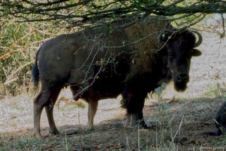 Bisons in der Nähe der Fuchskaute