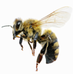 abeille francaise
