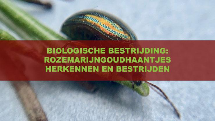 Het herkennen en bestrijden van het rozemarijngoudhaantje (Chrysolina americana)