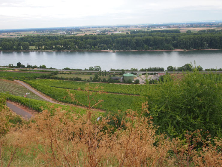 写真上で円柱の建物の手前にある畑が浅野さんのワイン畑、1ヘクタール