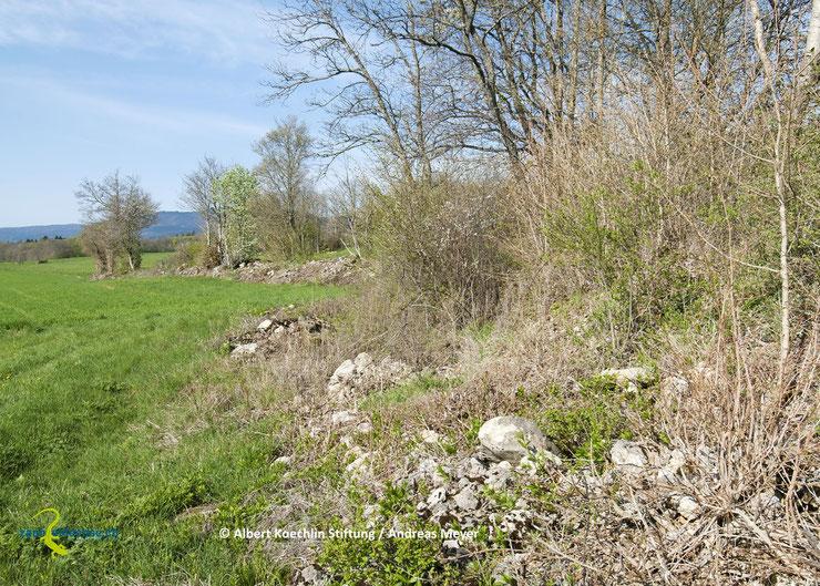 Hecken stellen für Zauneidechsen einen idealen Lebensraum dar, wenn sie durch einen Kraut- oder Altgrassaum und auf der Sonnseite durch Stein- oder Asthaufen ergänzt werden.