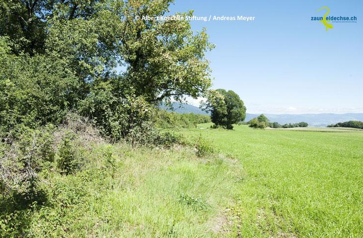 Strukturreiche Waldränder dienen der Zauneidechse als Jahreslebensraum und als Vernetzungsachse. Asthaufen sind hier eine wertvolle Bereicherung. Idealerweise ergänzt man Waldränder durch Kraut- oder Altgrassäume.