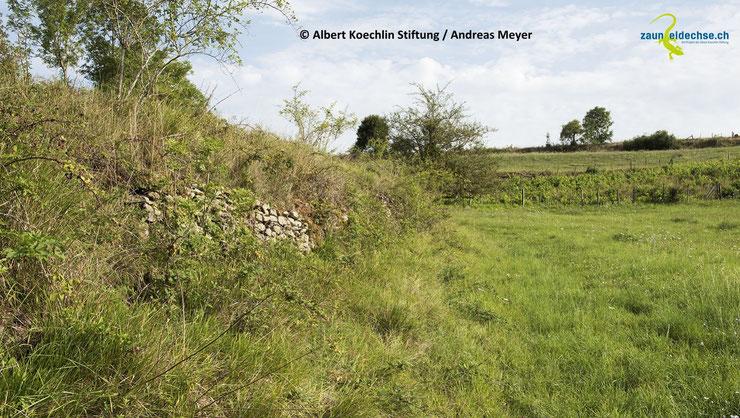 Dauerhaft brachliegende oder sehr extensiv genutzte Saumbiotope bilden im Kulturland wichtige Lebensräume für die Zauneidechse.  Kleinstrukturen wie Asthaufen, Steinhaufen oder Trockenmauern können die Säume ergänzen.
