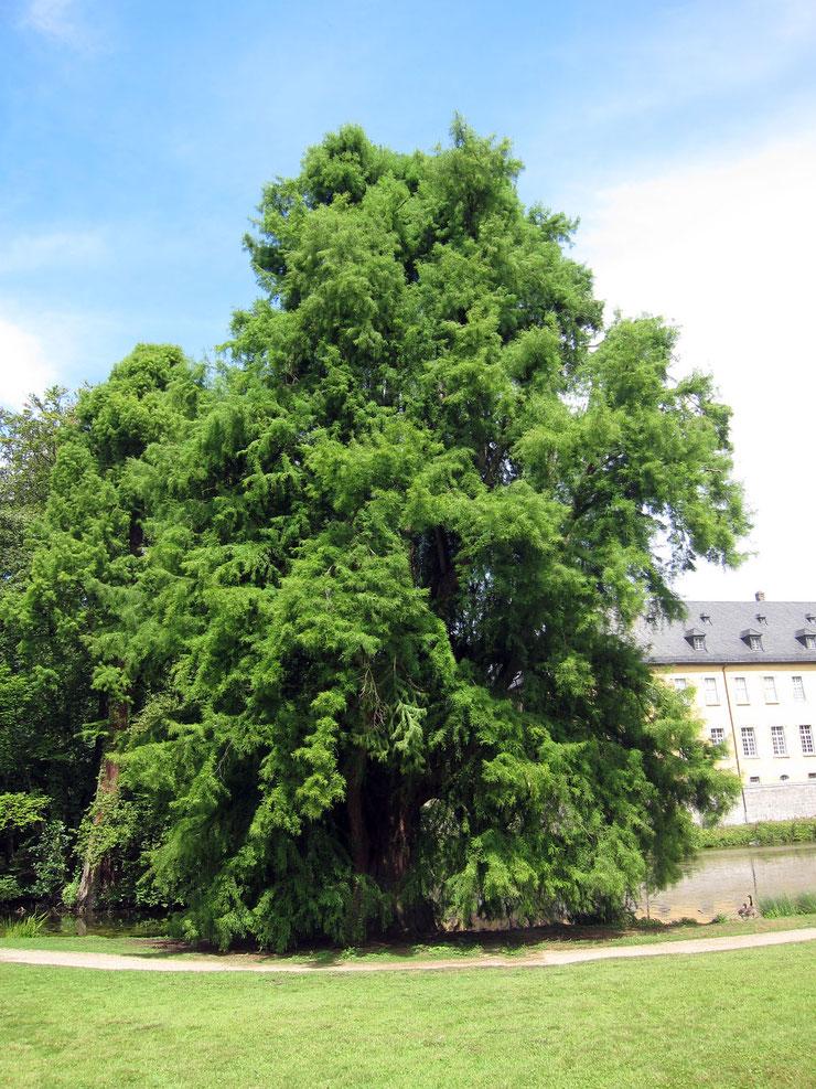 Sumpfzypresse im Schlosspark Dyck bei Aldenhoven
