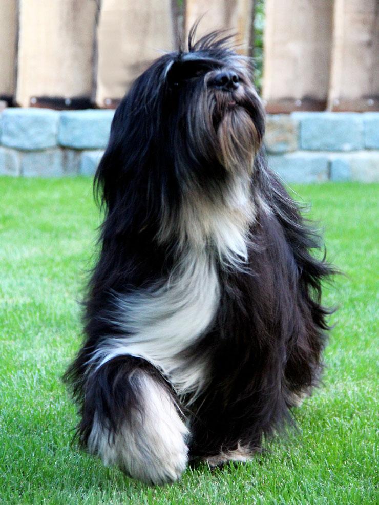 Peter Künzel_Oelde_Tibet Terrier_KTR_Ti La Shu_Katja Rauhut