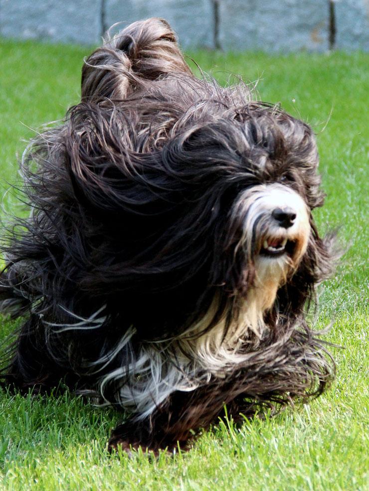 Tibet Terrier_Peter Künzel_Katja Rauhut_Ti La Shu_KTR_Oelde