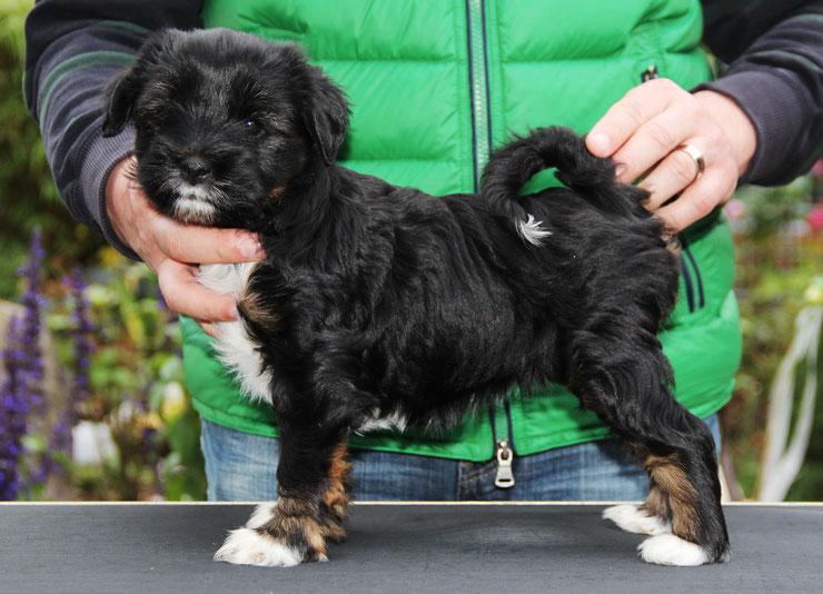 Welpen_Künzel_Oelde_Tibet Terrier