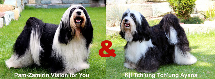 Tibet Terrier_Welpen_FCI_VDH_KTR Pedigree