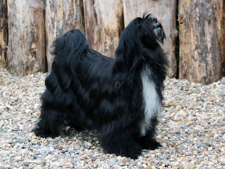 Tibet Terrier_Welpen_KTR_Peter Künzel_Anke Peine_Katja Rauhut