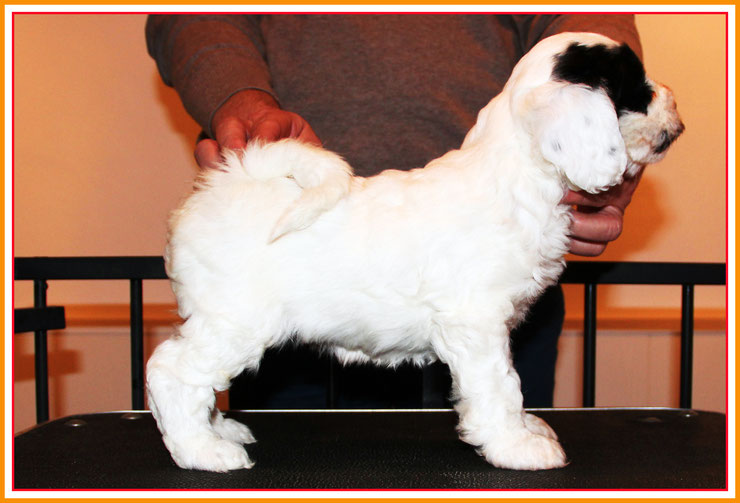 tibet terrier welpe, hündin, weiss, 2 schwarze augen, 6 wochen alt