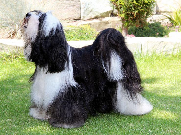 Anke Peine_Tibet Terrier_Oelde