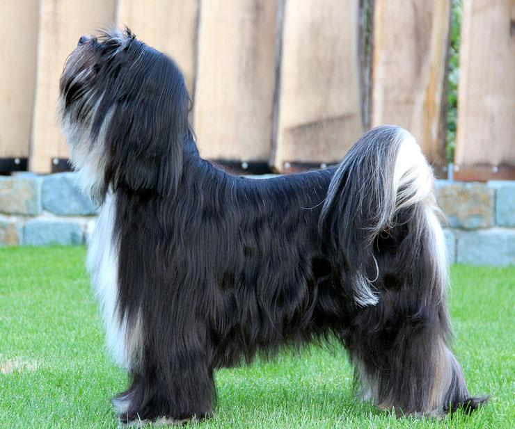 Tibet Terrier_KTR_Sally Wilson_Anke Peine_Rauhut_Ti La Shu_Peter Künzel_Oelde