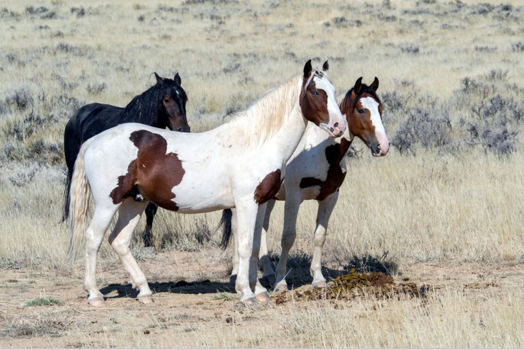 mustang  fiche cheval chevaux animaux origine caractere comportement robe race
