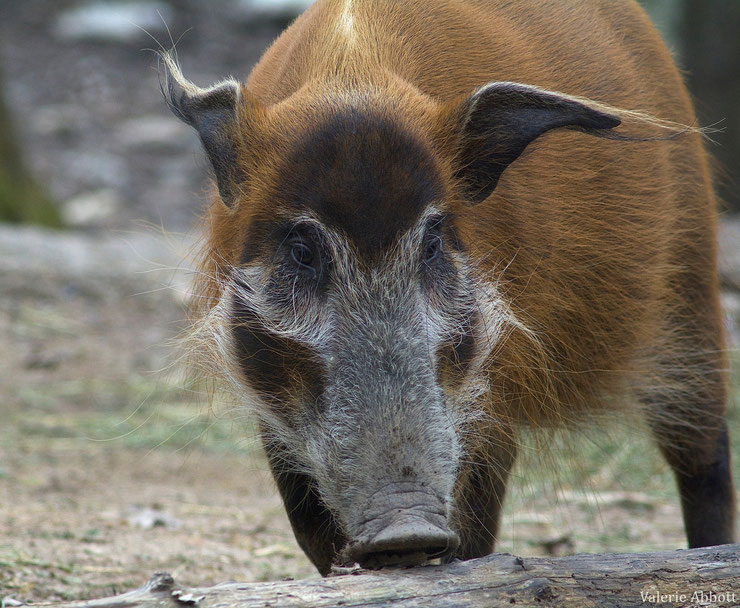 potamochere fiche animaux suides animal fact red river hog