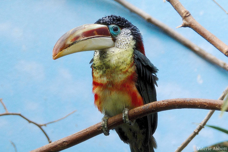 aracari de beauharnais fiche animaux oiseaux animal fact bird curl crested aracari