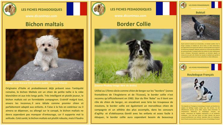 fiche animaux animal de compagnie  chien à telecharger et a imprimer pdf comportement origine caractere bichon malatais border collie bobtail bouledogue francais