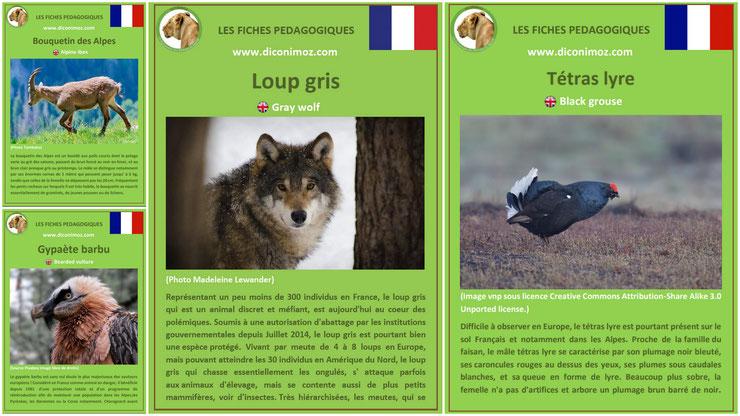 fiche animaux des montagnes francaises à telecharger et a imprimer pdf habitat taille poids reproduction alimentation bouquetin gypaete barbu loup gris tetras lyre