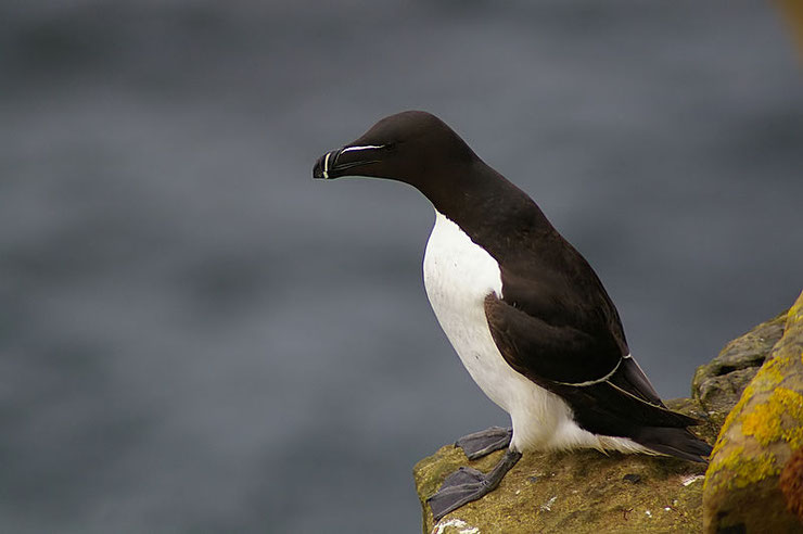pingouin fiche animaux oiseaux comportement habitat poids taille alimentation reproduction