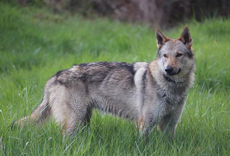 chien loup tchecoslovaque fiche chien animaux origine caractere comportement poil sante couleur