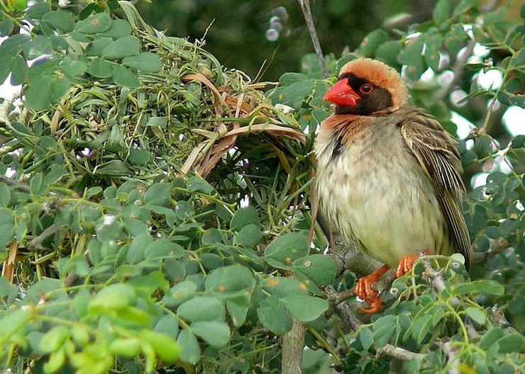 quelea travailleur a bec rouge red-billed fiche oiseaux afrique