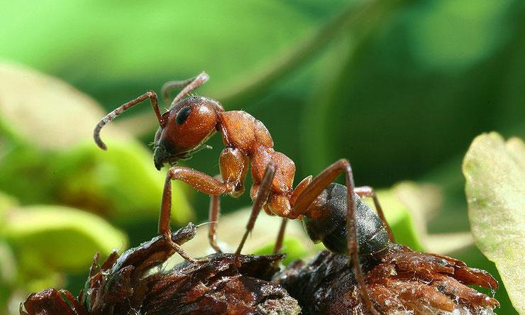 fourmi rousse des bois fiches insectes comportement poids taille habita repartition
