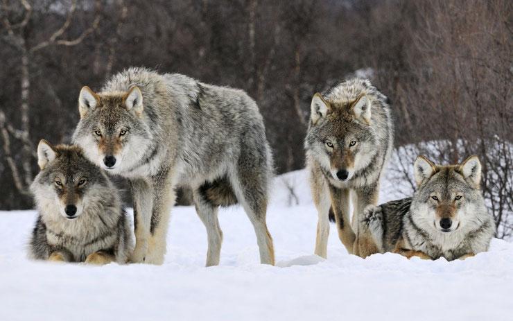 meute de loup definition vocabulaire