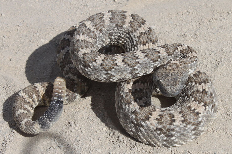 crotale cascabelle fiche animaux reptile rattlesnake