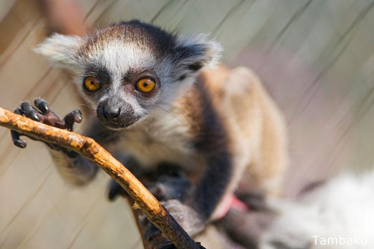 bebe maki catta lemur lemurien primate animaux mignons cute baby animals