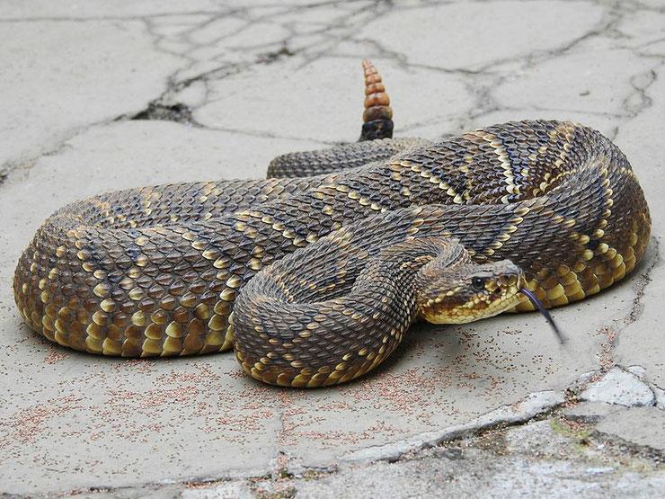 crotale cascabelle fiche reptile animaux dangereux serpent crotalus durissus